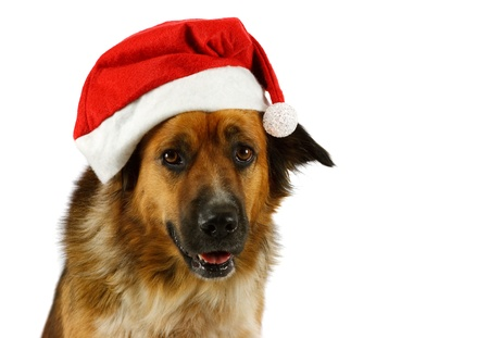 Portrait of a mixed breed christmas dog, on white background photo