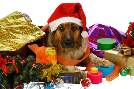 disarray: Mixed breed dog has done preparings for christmas