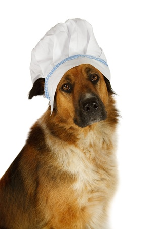 Big dog with a chef�s hat photo