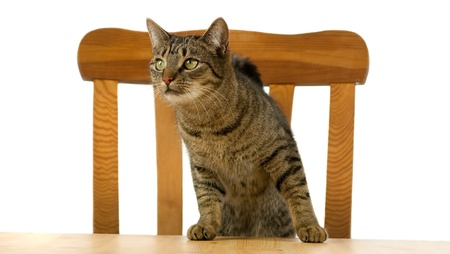 Tiger cat is waiting at table for food photo