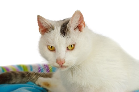 White tomcat in his cat bed Stock Photo - 12661134