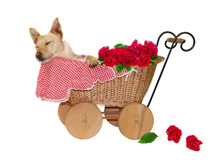 Provided With Roses. A little dog is sleeping in a baby carriage, on white background photo