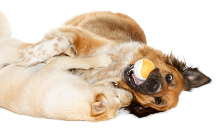clinch: Two dogs playing with a ball on white background