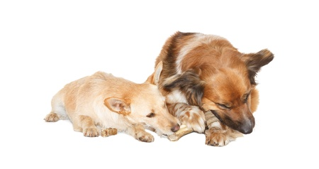 Little dog is stealing a bone from a big dog, on white background Stock Photo - 13838372