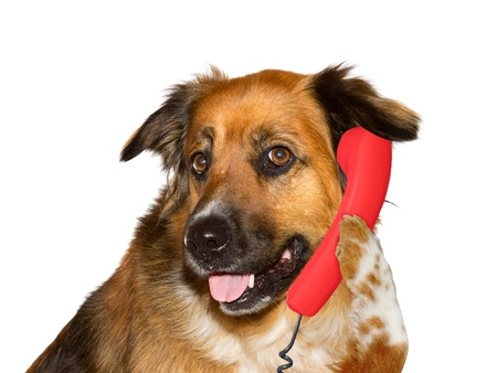 answer phone: Dog is with a telephone Stock Photo