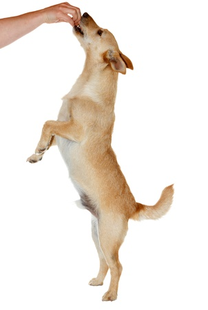 dog treat: Cute dog standing on two legs to catch his food - isolated on white Stock Photo