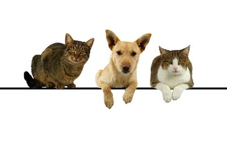 Chien flanqué de deux chats se trouvant au-dessus d'une bannière vierge pour votre texte avec des expressions de leurs pattes pendantes et alerte comme ils face à la caméra Banque d'images