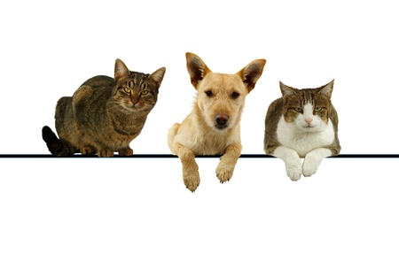Dog flanked by two cats lying on top of a blank banner for your text with their paws dangling and alert expressions as they face the camera Stock Photo