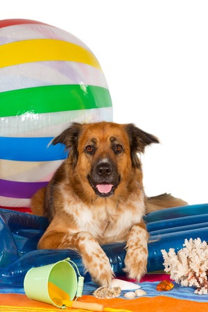 Conceptual studio image of a happy dog at the seaside lying on a blue plastic lilo with a bucket and large colourful striped beachball