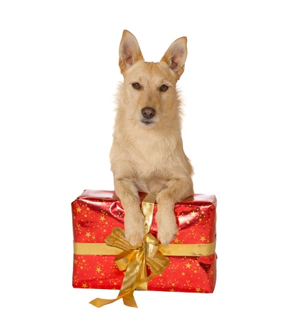 seasonal greetings: Alert golden dog lying with its paws resting on a decorative red Christmas gift with a large gold bow for your seasonal greetings card Stock Photo