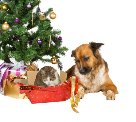 A faithful dog looks quizzically at its cat companion sitting comfortably in the remnants of an open red Christmas gift under a decorated tree, isolated on white for your Xmas wishes