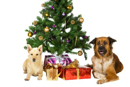 Two happy dogs lie under the Christmas tree flanking a pile of colourful giftwrapped festive gifts isolated on white photo