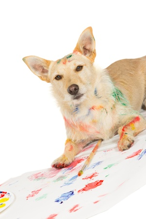 Happy alert jack russel terrier dog artist daubed with paint lying on his latest artwork complete with colourful paw prints