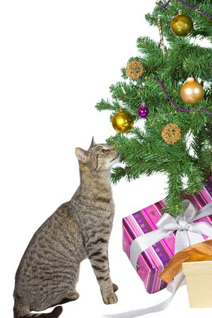 tantalising: Family tabby cat sitting under the tree eyeing the tempting Christmas decorations isolated on white Stock Photo