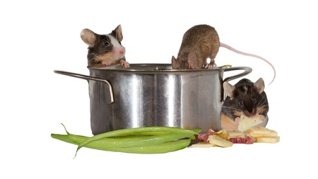 Three mice investigating the kitchen clambering into a stainless steel cooking pot and stealing fresh vegetables as thye have fun isolated on white