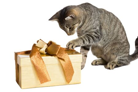 clawing: Family cat enjoying Christmas pawing at a large gold wrapped gift with its paw in an effort to discover the contents isolated on white