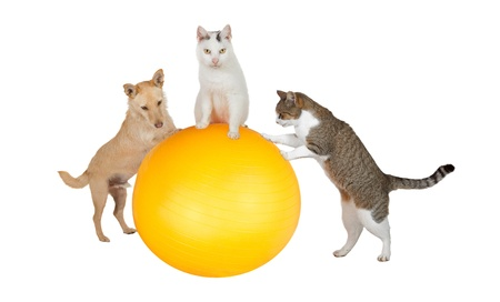 Fun conceptual image of three family pets, a jack russell terrier and two cats, working out in the gym doing balancing and stretching exercises with a pilates ball isolated on white photo