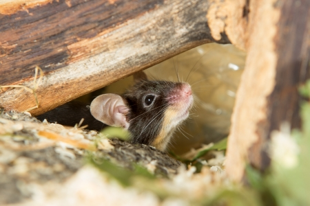 cocked: Cute little mouse peering out cautiously from under a log with its whiskers twitching and ear cocked for sound