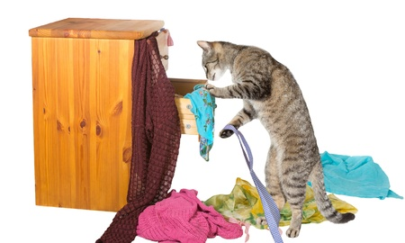 disarray: Curious tabby cat standing on its hind legs rummaging in a chest of drawers with clothing strewn around on the floor in disarray Stock Photo
