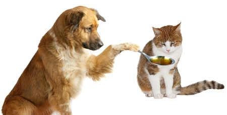Adorable dog veterinarian patiently trying to coax his sick friend the ginger cat to take his medicine from a spoon that he is holding out isolated on white Stock Photo