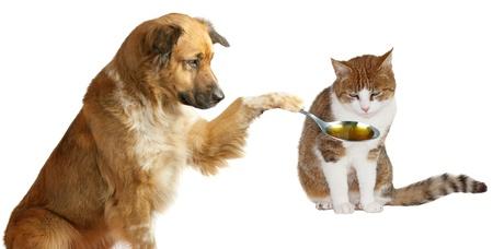 enfermo: Veterinario perro adorable con paciencia tratando de convencer a su amigo enfermo el gato jengibre para tomar su medicina con una cuchara que está sosteniendo aislado en blanco Foto de archivo