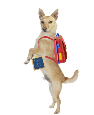 Cute, intelligent, golden jack russel terrier standing up on his hind legs wearing a backpack and holding a chalkboard with a hand drawn sign as he wants to go to the dog obedience school  photo