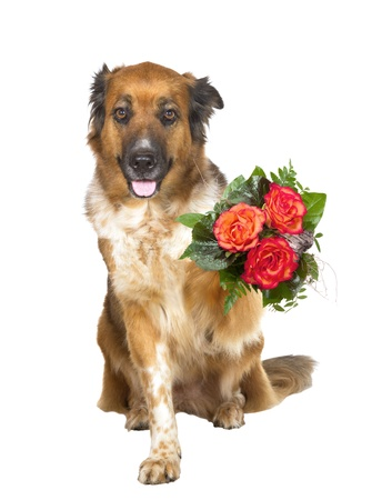 Adorable brown dog sitting looking at the camera offering a posy of colourful orangey red flowers in its paw to a loved one isolated on white photo
