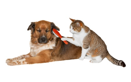 Quirky image of a pretty little cat with a red brush grooming its friend, a cute blissful brown crossbred dog lying basking in the attention with its eyes closed, isolated on white