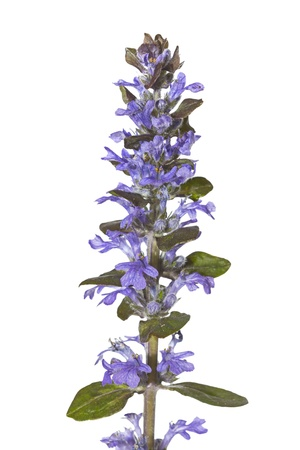 invasive plant: Spike of pretty blue bugle herb flowers, or Ajuga reptans, used in herbal medicine to stem bleeding isolated on white