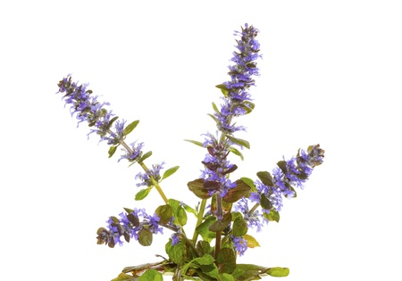 invasive plant: Isolated plant of the bugle herb, or Ajuga reptans, with its pretty blue flowers, used in herbal medicine to stem bleeding on white