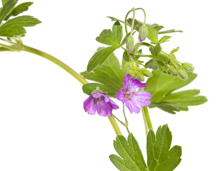 unopened: Closeup of an isolated Malva sylvestris plant showing th purple flower and unopened buds used medicinally as a weight loss supplement