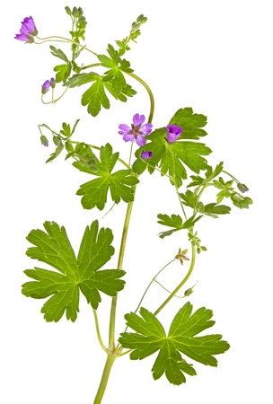 palmate: Isolated Malva sylvestris plant showing the palmate leaves and purple flowers which are used in herbal medicine as a weight loss supplement and to clean the colon Stock Photo