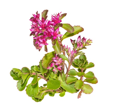 groundcover: Colourful star-shaped pink flowers of the Sedum causticola plant, or Stonecrop, a succulent groundcover that flowers in summer and autumn and is cultivated in many gardens, isolated on white