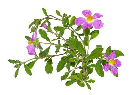 Papiers minces fleurs roses de la Ciste ou albidus Cistus qui fleurissent pour une seule journée, puis whither s'appuyant sur les abeilles pour leur pollinisation pendant ce temps, ils sont hermaphrodites et autofertile