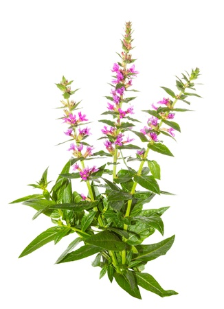 invasive plant: Purple lythrum plant, Lythrum salicaria or spiked loosestrife, with its spikes of purples flowers and lanceolate leaves used as a cure for diarrhoea and dysentry isolated on white