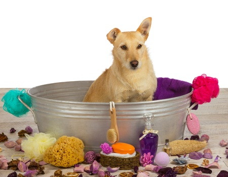bathtime: Pampering time at the dog parlour for a cute golden coloured terrier dog who is sitting waiting patiently in a metal bathtub surrounded by bathing accessories for that special bathing experience