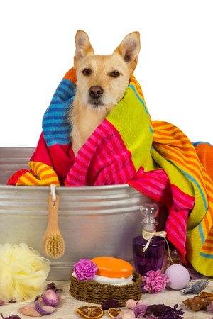 Cute little golden terrier dog drying off after a bath sitting in the metal tub draped in a colorful towel and surrounded by bathing accessories photo