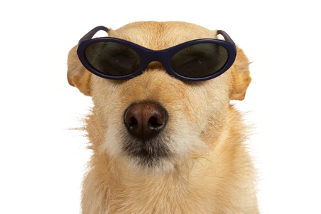 cool dude: Adorable little cool dude dog wearing sunglasses sitting looking at the camera isolated on white