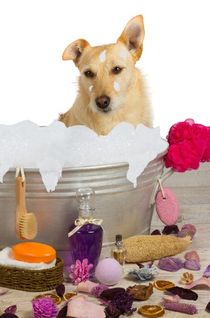 Cute little golden terrier sitting in a metal bath tub full of bubbles surrounded by bathing accessories enjoying a shampoo and pampering at a dog parlour photo