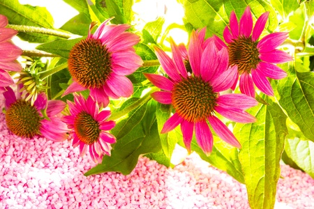 stimulate: Bunch of beautiful purple Echinacea flowers, or Echinacea purperea, an ornamental garden plant and herbal medicine used to stimulate the immune system, lying on pink gravel with copyspace Stock Photo