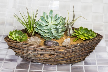 epiphyte: Echeveria, a succulent, and Tillandsia, an epiphyte of the Bromeliad family, growing in a wicker basket