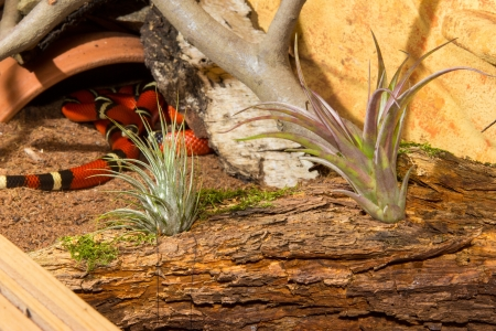 banding: Tillandsia, an epiphyte Bromeliad, growing on a wooden log in the terrarium of a red Sinaloan milk snake
