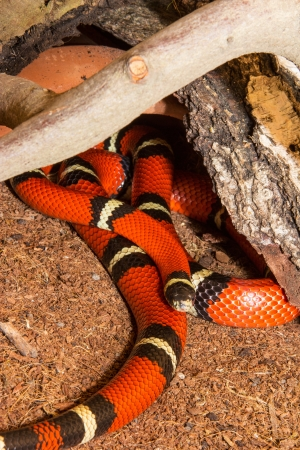 banding: Close up of a Sinaloan Milk Snake, or Lampropeltis triangulum sinaloae, with its distinctive red colouring and banding or rings in captivity in a terrarium