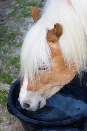 caballo bebe: Cabeza de un caballo de Haflinger está bebiendo agua de una cubeta de agua.