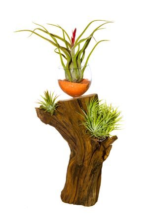 caput: Decorative air plant growing on a log