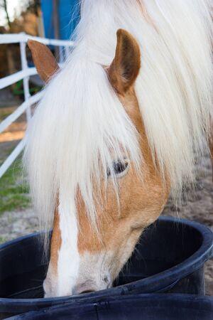 caballo bebe: Cabeza de un caballo de Haflinger est� bebiendo agua de una cubeta de agua.