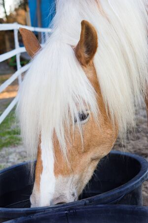 caballo bebe: Head of a Haflinger horse is drinking water from a water trough.