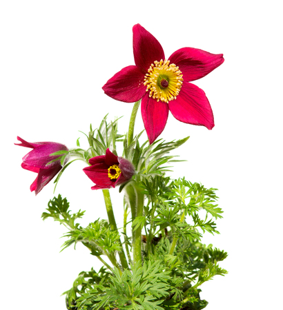 oft: Pasqueflower or meadow anemone on white background, it?,?s used for medical purpose in homeopathic medicine very oft fo womans disease. Stock Photo