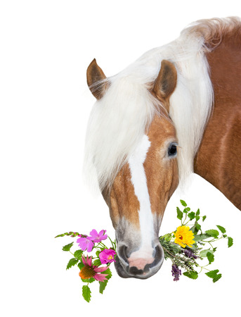 Beautiful Haflinger Horse eating herbs for natural Diet, to stay healthy or for treatment of disease. Stock Photo