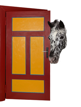 spotted: A cheeky, spotted horse is looking into a room, through a door. Stock Photo